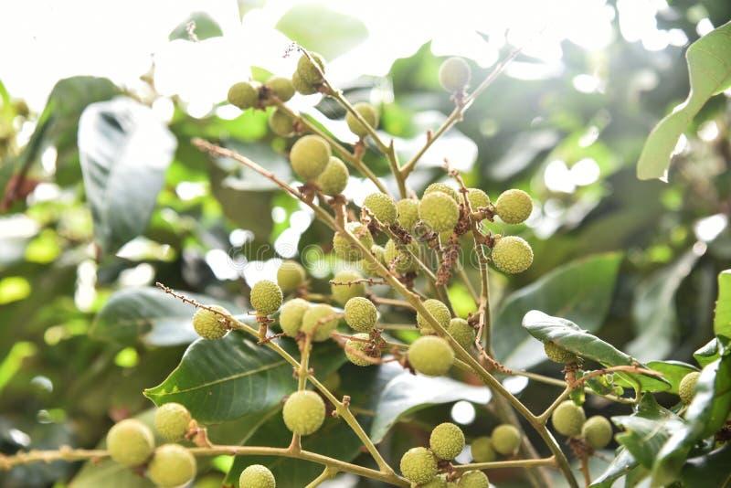 Fruta verde del longan fotografía de archivo libre de regalías
