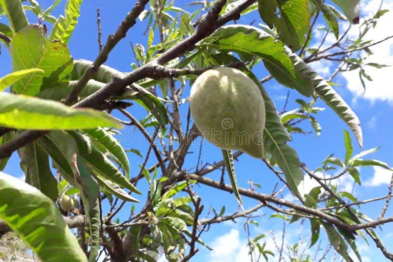 Fruta verde del melocotón foto de archivo