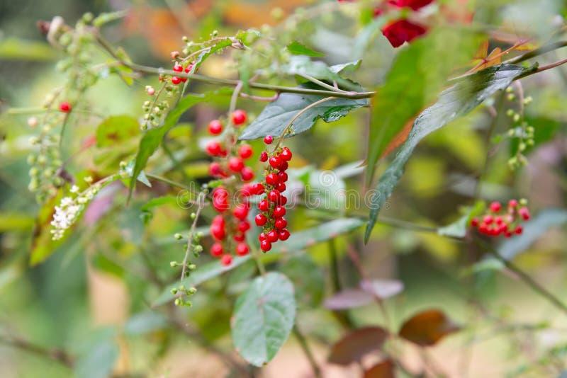 fruta y flor bajo sol: Barra de labios Bush, baya de paloma, tomate salvaje, planta de colorete, baya de sangre y x28; Humilis L  imagen de archivo