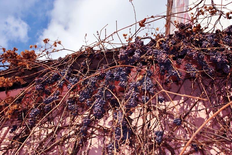 Frutas azules maduras de la uva en ramas sin las hojas en la pared rosada, fondo del cielo nublado fotografía de archivo libre de regalías
