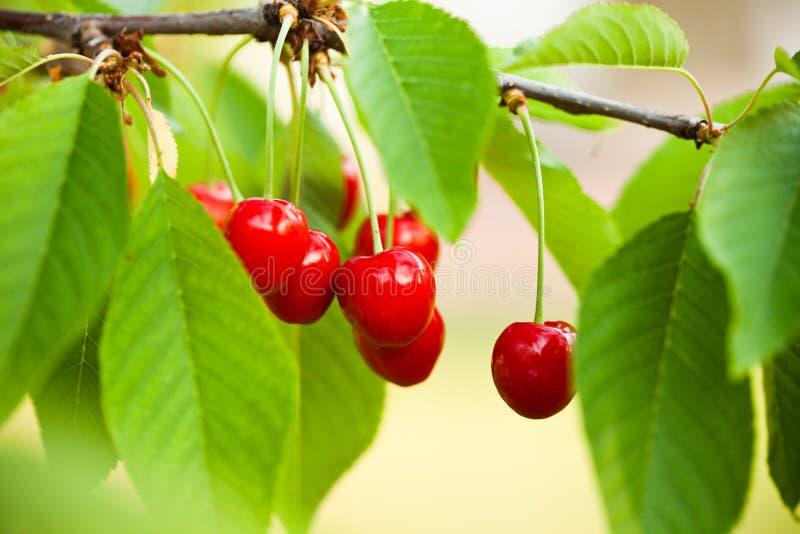 Frutas da cereja imagens de stock
