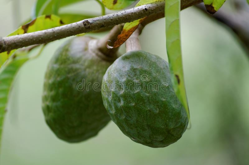 Frutas de Annouaceous imagenes de archivo