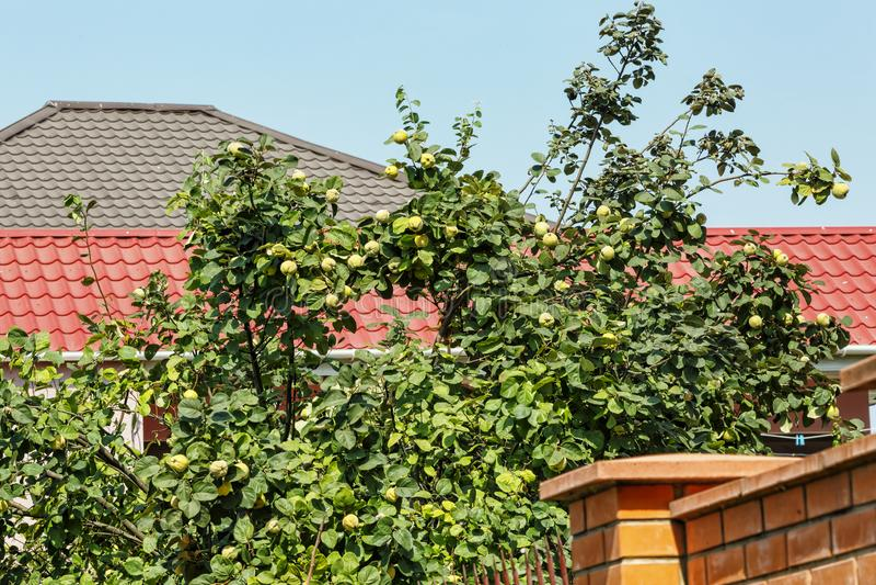 Frutas de Fquince, ruit, membrillo, verde, árbol, verano, foto de archivo