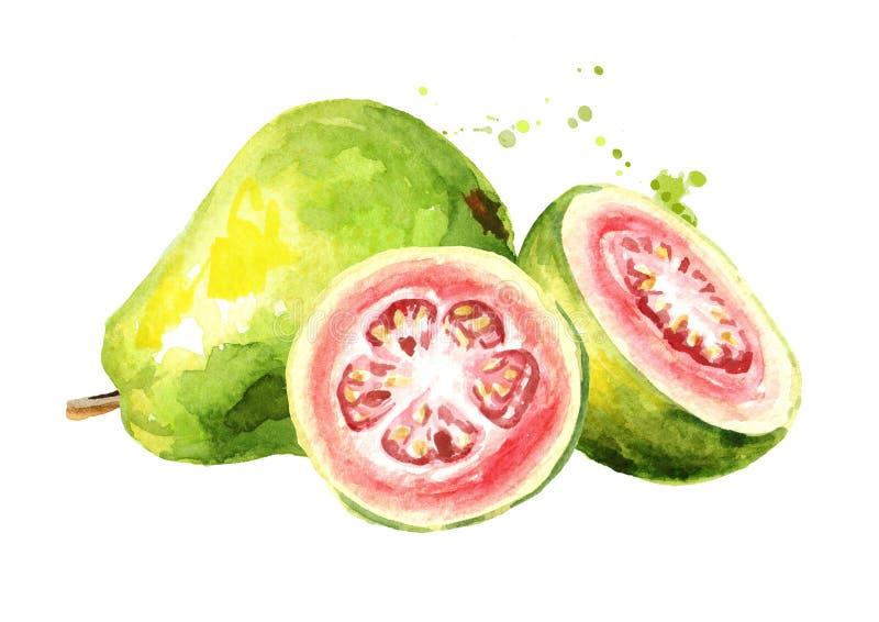 Frutas de guayaba maduras Ejemplo dibujado mano de la acuarela, aislado en el fondo blanco libre illustration