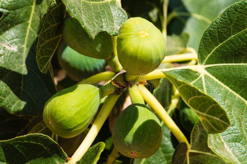 Frutas de higuera foto de archivo libre de regalías
