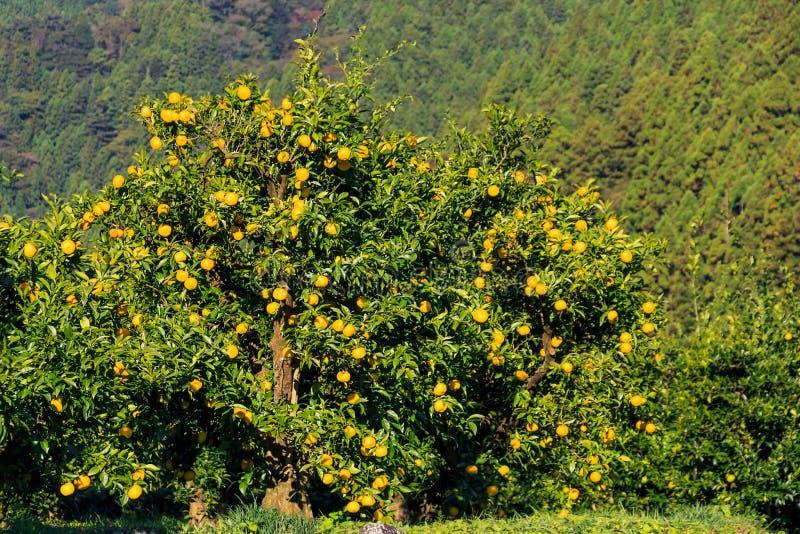 Frutas de Yuzu en el árbol fotografía de archivo libre de regalías