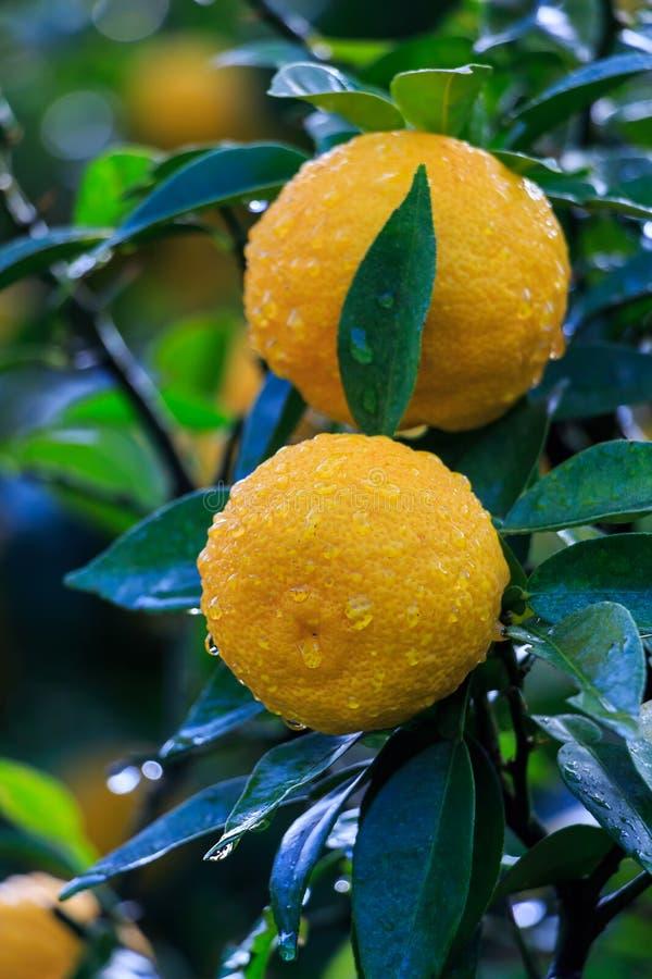Frutas de Yuzu en la lluvia imagen de archivo libre de regalías