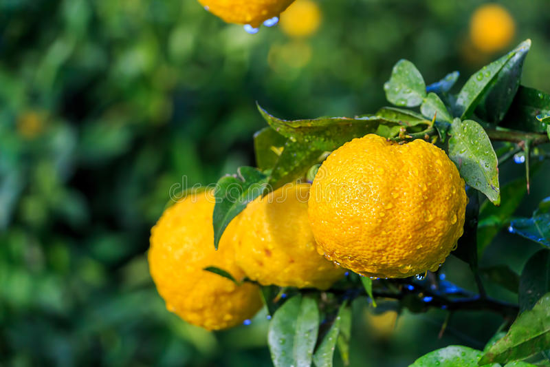 Frutas de Yuzu en la lluvia imagen de archivo