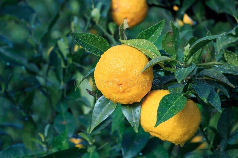 Frutas de Yuzu en la lluvia fotos de archivo libres de regalías