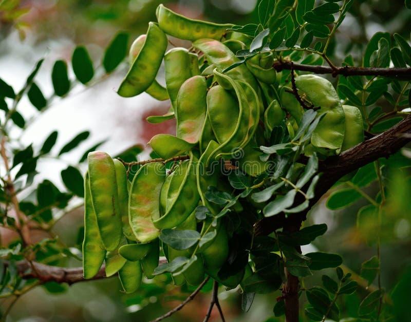 Frutas del árbol de algarroba fotografía de archivo libre de regalías
