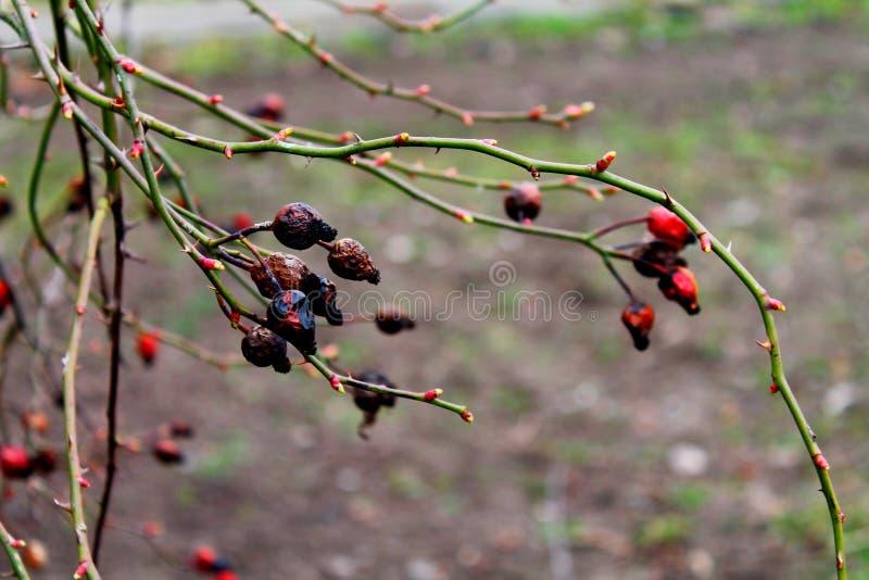 Frutas del canina de Rosa en primavera temprana fotografía de archivo