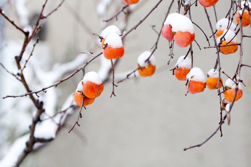 Frutas del caqui debajo de la nieve imagenes de archivo