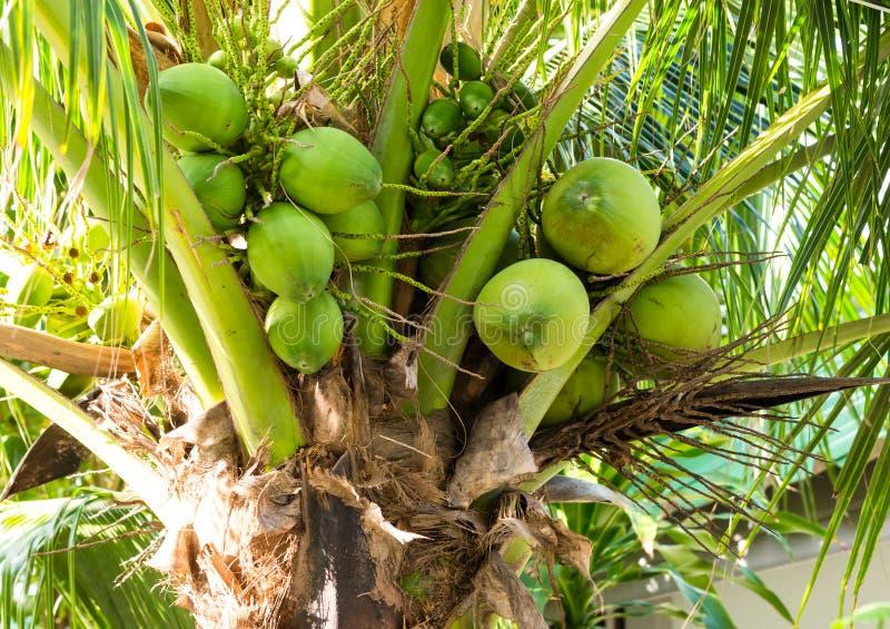 Frutas del coco en una palmera con las ramas largas de una fuente de nutrición y del agua, jugo del dulce de la leche que restaur fotos de archivo