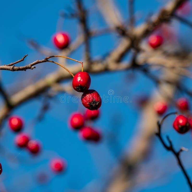 Frutas del espino contra un cielo azul imagenes de archivo