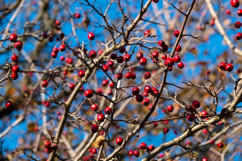 Frutas del espino contra un cielo azul fotografía de archivo libre de regalías