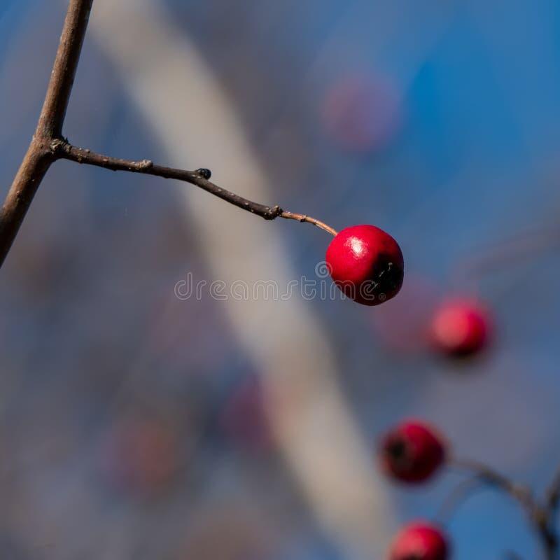 Frutas del espino contra un cielo azul fotos de archivo