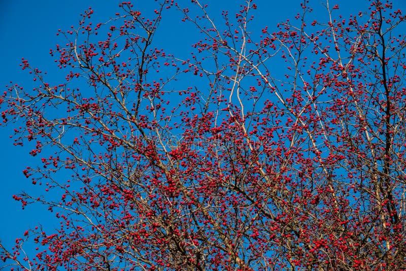 Frutas del espino contra un cielo azul foto de archivo libre de regalías