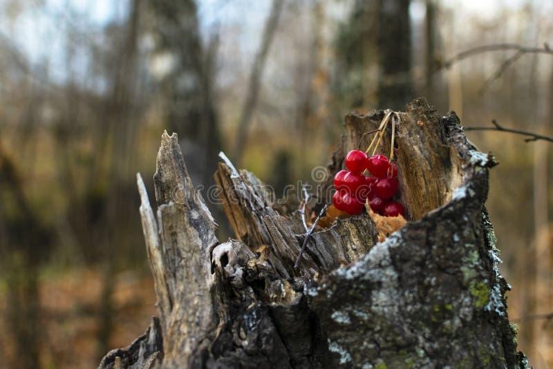 Frutas del viburnum en tocón del abedul foto de archivo libre de regalías