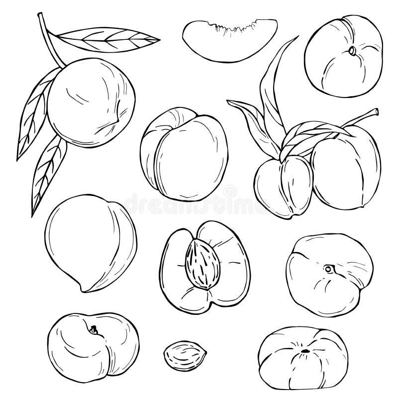 Frutas desenhadas m?o P?ssego Ilustra??o do vetor ilustração royalty free