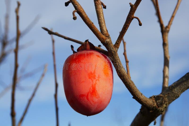 Frutas do caqui em árvores no campo do outono imagens de stock
