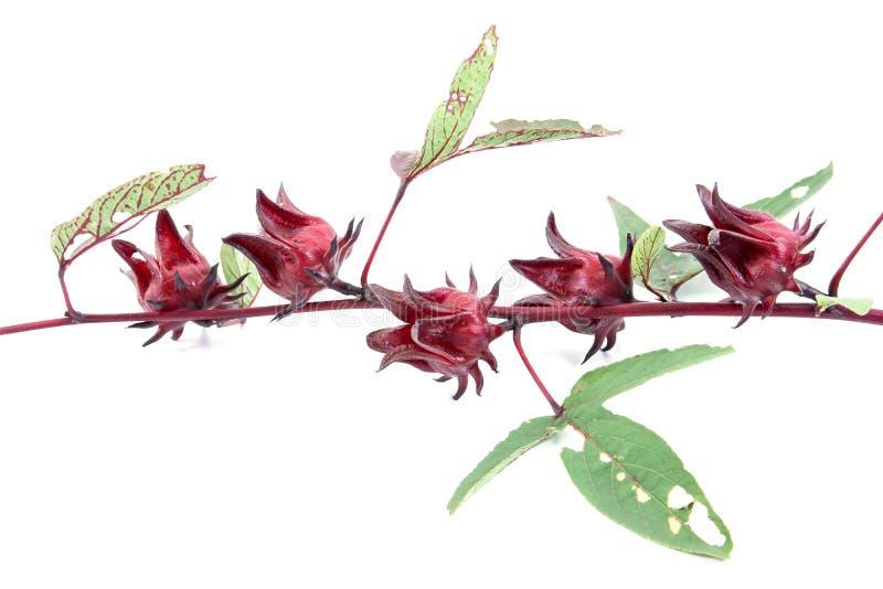 Frutas do sabdariffa ou do roselle do hibiscus Frutos de Roselle isolados no fundo branco imagens de stock