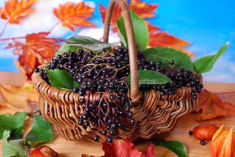 Frutas frescas de la baya del saúco en la cesta imagen de archivo