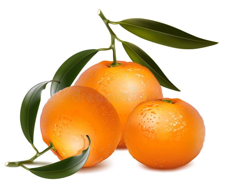 Frutas frescas de la mandarina con las hojas verdes. libre illustration