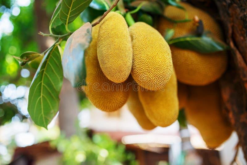 Frutas frescas grandes de la caída del jackfruit en un árbol contra la perspectiva de las hojas verdes Jackfruit en un ambiente n fotos de archivo libres de regalías