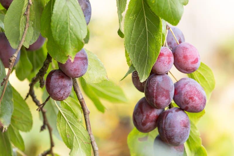 Frutas orgánicas maduras de los ciruelos en el cierre de la rama de árbol para arriba fotografía de archivo libre de regalías
