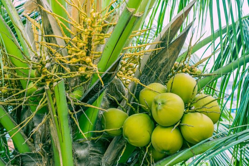 Frutas pequeñas y grandes del coco en la palma foto de archivo