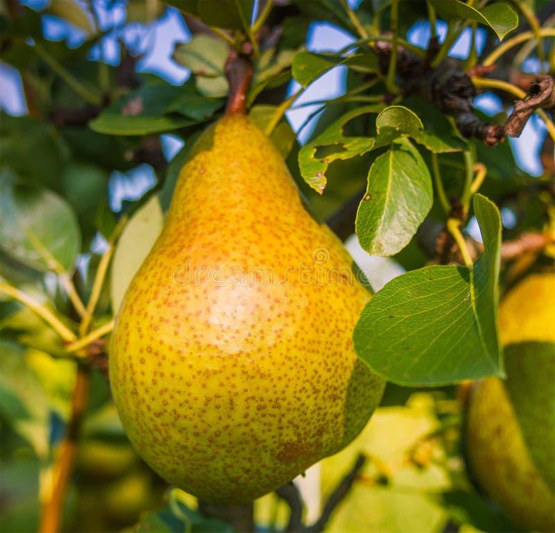 Frutas reales imagen de archivo libre de regalías
