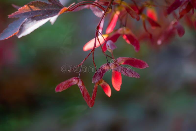 Frutas rojas coloridas del samara de un arce japonés fotografía de archivo