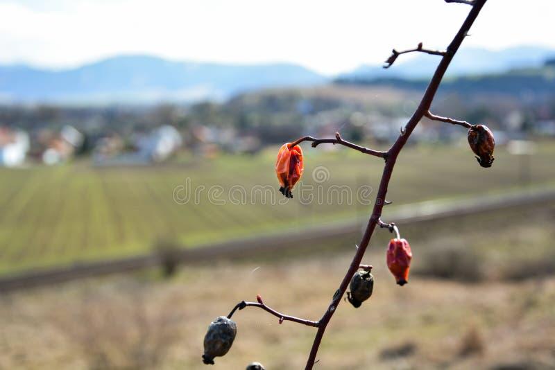 Frutas rojas en la rama fotos de archivo libres de regalías