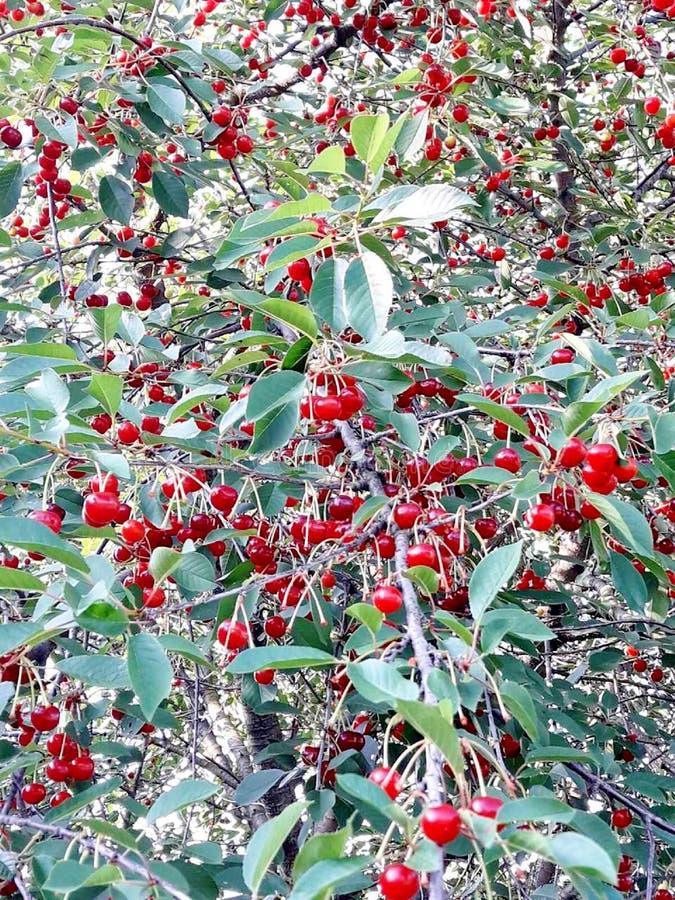 Frutas rojas maduras del primer de las cerezas, sanas y sabrosas imágenes de archivo libres de regalías