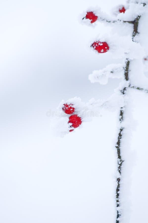 Frutas salvajes en invierno fotografía de archivo libre de regalías
