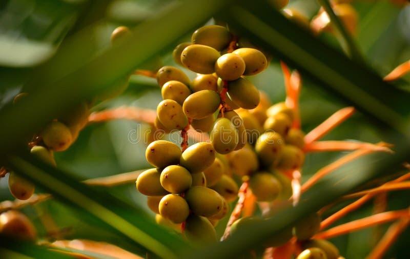 Frutas verdes de la palmera foto de archivo