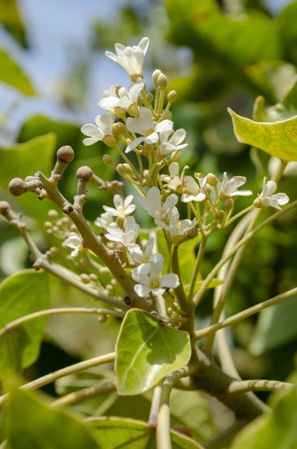 Frutas y flores jovenes del Candlenut fotos de archivo