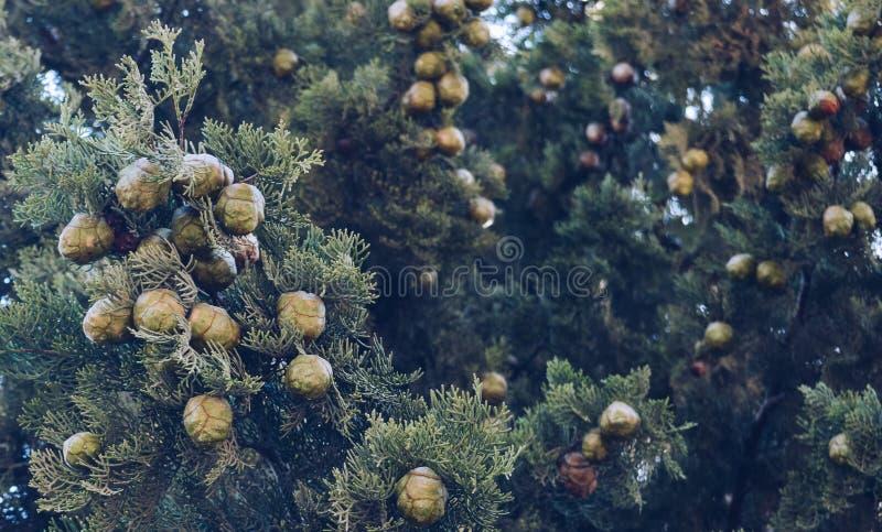 frutas y ramas del ?rbol de cipr?s fotos de archivo