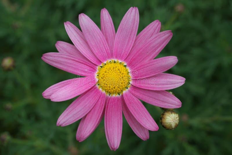 Frutescens d'Argyranthemum ou marguerite des prés rose photographie stock
