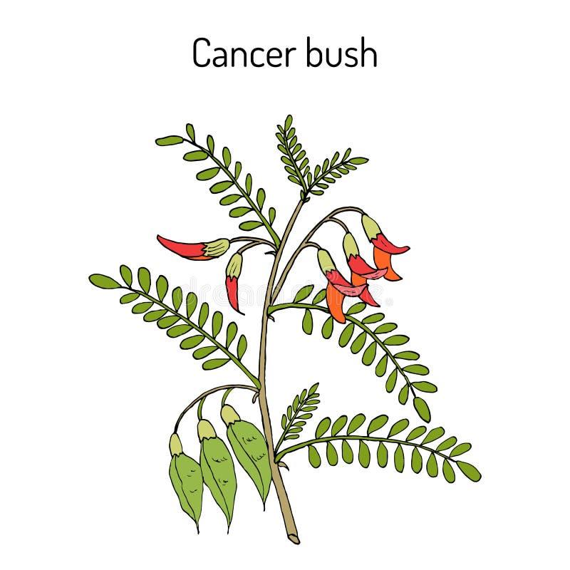 Frutescens sutherlandia куста Карциномы, или горох воздушного шара, лекарственное растение иллюстрация вектора