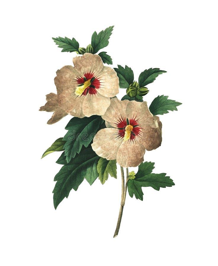 Frutex de Althaea | Ilustrações antigas da flor ilustração do vetor