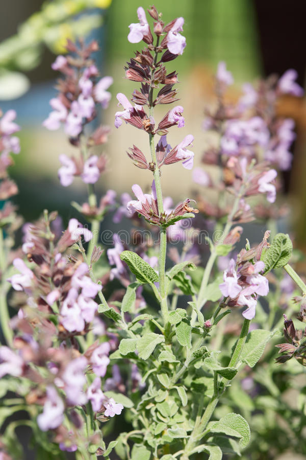 Fruticosa di Salvia o pianta prudente greca con i fiori immagini stock libere da diritti