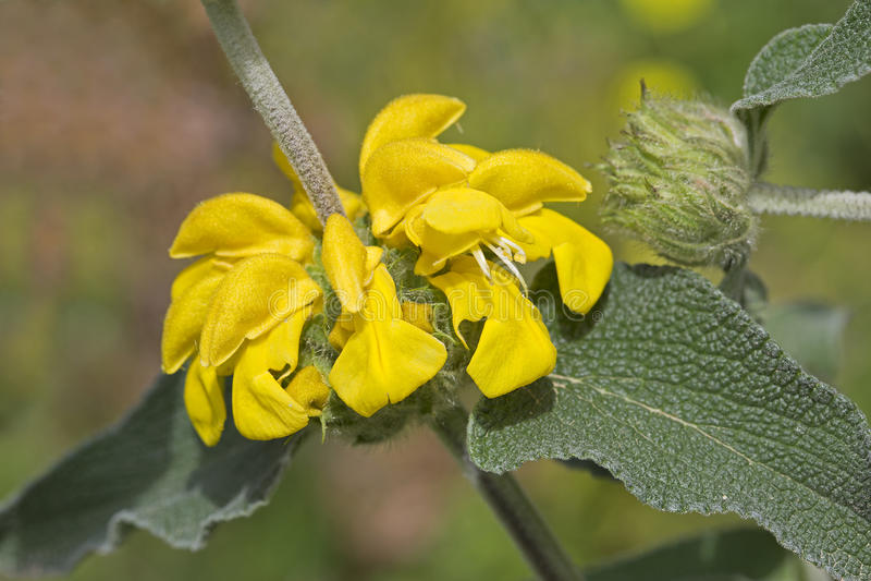 Fruticosa Phlomis (φασκομηλιά της Ιερουσαλήμ) στοκ φωτογραφίες
