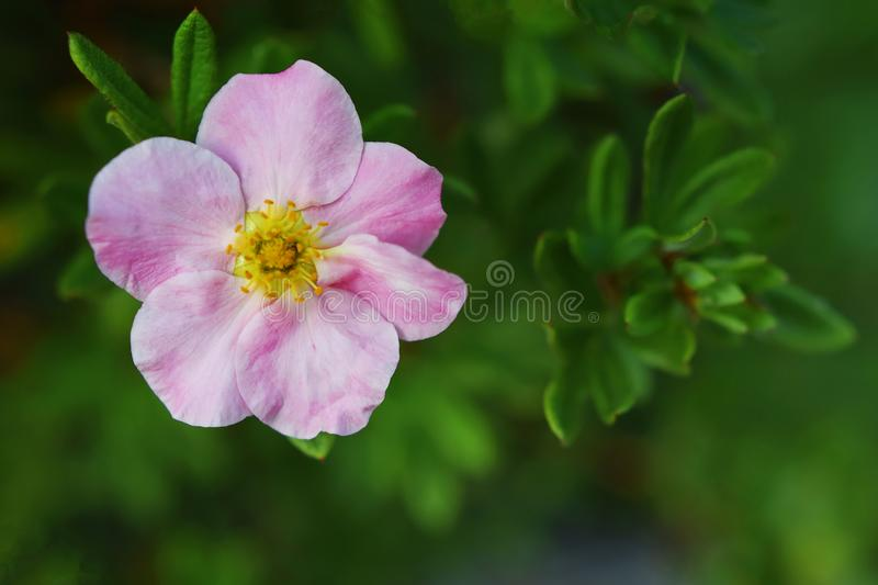 Fruticosa rose de potentilla de fleur photographie stock libre de droits