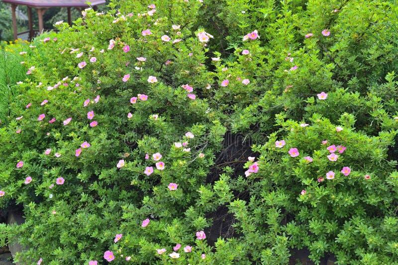 Fruticosa shrubby de florescência de Dasiphora do cinquefoil do cultivar fotografia de stock royalty free