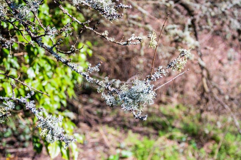 Fruticose lav'Usnea'gamal mans skägg eller skägg Lichen Growing på filialer av ett träd I arkivfoton