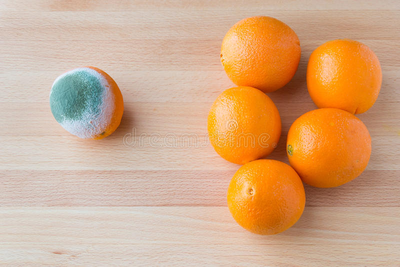Fruto alaranjado podre mofado perto do grupo de laranjas frescas imagens de stock