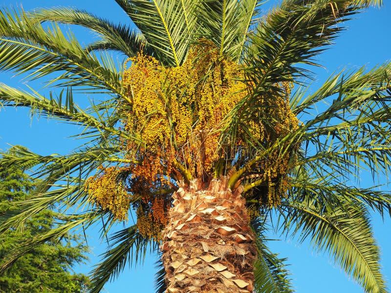 Fruto amarelo de amadurecimento da palma imagem de stock