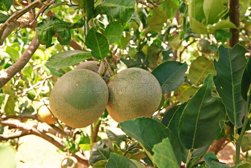Fruto cor de limão, grandes citrinos perfumados com uma casca grossa foto de stock royalty free