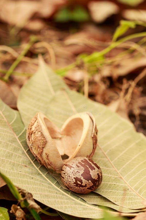 Fruto da árvore da borracha imagens de stock
